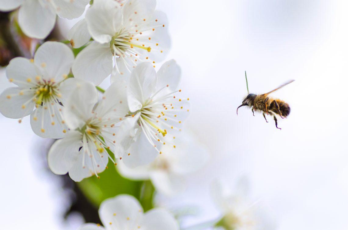 Ambrosia (Nectar)